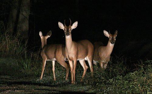 Deer Eyesight: Not As Sharp As You Think