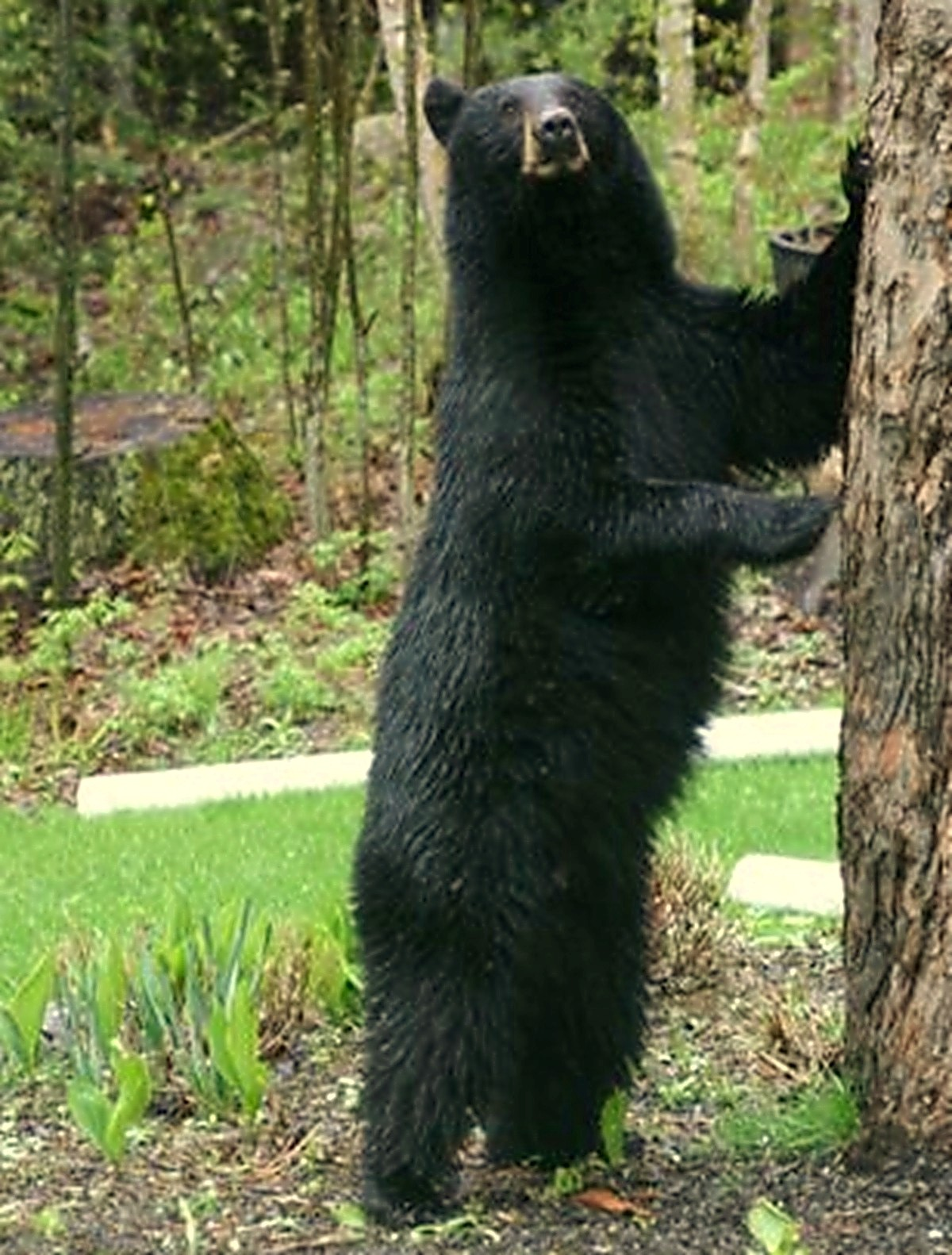 Man Climbs Tree to Avoid Bear, Bear Follows